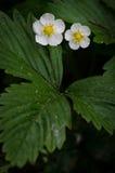 Vesca Fragaria в цветке Стоковая Фотография