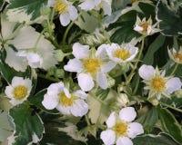 vesca fragaria variegata Fotografia Royalty Free