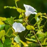 Vesce dans des feuilles avant de vert des FO photos libres de droits