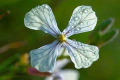 vesicaria λουλουδιών eruca Στοκ Φωτογραφία