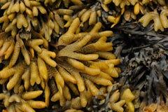 Vesiculosus van Fucus van blaasfucus Kust van het Overzees van †‹â€ ‹Okhotsk Het Verre Oosten, Rusland royalty-vrije stock fotografie