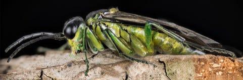 Vespão verde comum, vespão verde, viridis de Rhogogaster Imagens de Stock