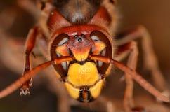 vespa шершня crabro европейский Стоковые Фото