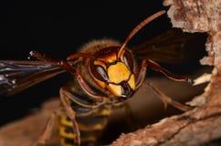 vespa шершня crabro европейский Стоковое фото RF