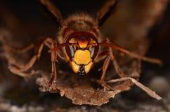 vespa шершня crabro европейский Стоковое Изображение