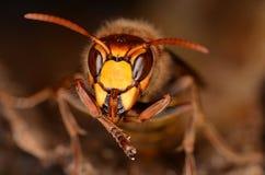 vespa шершня crabro европейский Стоковая Фотография RF
