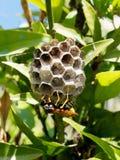 Vespa adulta do trabalhador que tende o ninho de madeira inoperante foto de stock