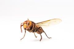 Vespa arancio, insetto Fotografia Stock Libera da Diritti
