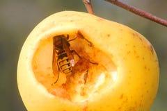 Vespa che mangia una mela Fotografia Stock