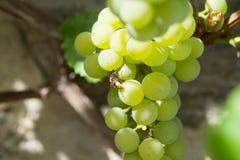 Vespa che si alimenta un'uva Immagine Stock