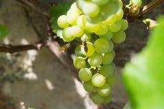 Vespa che si alimenta un'uva Fotografia Stock Libera da Diritti