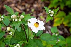 Vespa che si siede sull'anemone giallo bianco Immagine Stock