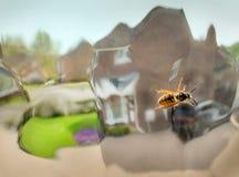 Vespa che striscia sopra il vetro di finestra di vetro distorto, dentro una casa della famiglia, l'Inghilterra, Regno Unito fotografia stock libera da diritti