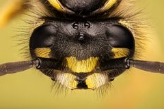 Vespa comum, vespa, Vespula vulgar fotos de stock