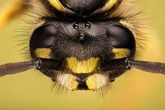 Vespa comune, vespa, vespula vulgaris fotografie stock