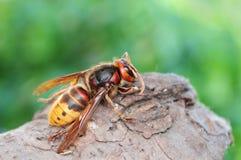 Vespa crabro, European giant hornet Royalty Free Stock Photos