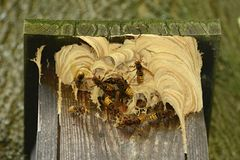 Hornets and hornet nest in the bird booth stock photo