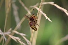 Vespa crabro queen hornet stock images