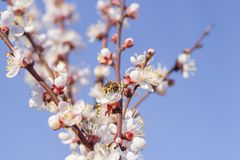 A vespa da abelha que recolhe o pólen que poliniza uma mola da flor floresce a flor na árvore de abricó das árvores de fruto fotografia de stock
