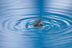 Vespa da matança da aranha Fotos de Stock Royalty Free