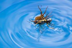 Vespa da matança da aranha Imagens de Stock