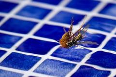 Vespa da matança da aranha Foto de Stock