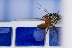 Vespa da matança da aranha Imagens de Stock Royalty Free