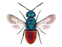 Vespa del cuculo di Holopyga (Chrysididae) Fotografie Stock Libere da Diritti