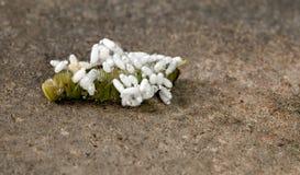 Vespa di Braconid sul pomodoro Hornworm Immagine Stock