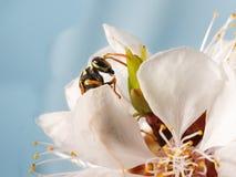 Vespa do close up em flores da árvore de abricó Imagens de Stock Royalty Free