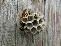 Vespa do inseto na porta fotografia de stock royalty free