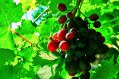 Vespa e uvas pretas Fotografia de Stock