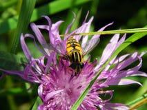 Vespa em cardos do prado da flor Foto de Stock