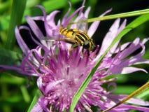 Vespa em cardos do prado da flor Imagem de Stock Royalty Free