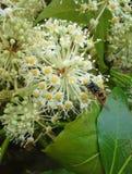 Vespa em flores de Fatsia Japonica Imagem de Stock