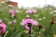 Vespa em uma flor Fotografia de Stock