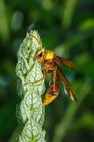 Vespa, grande vespa Mosca pericolosa, macro vespa Immagini Stock