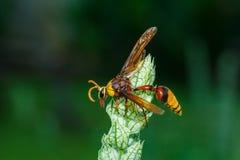 Vespa, grande vespa Mosca pericolosa, macro vespa Immagine Stock