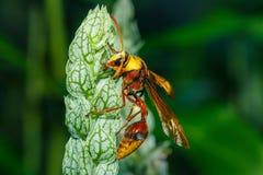 Vespa, grande vespa Mosca pericolosa, macro vespa Fotografia Stock Libera da Diritti