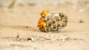 Vespa indiana gialla sul video del nido sul nido stock footage