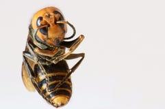 Vespa mandarinia. Japanese giant hornet, killer bee Royalty Free Stock Photography