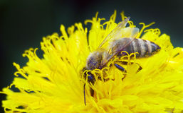 Vespa na flor amarela Imagem de Stock Royalty Free