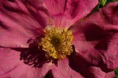A vespa na flor de um selvagem aumentou em uma manhã do verão no sol Imagem de Stock Royalty Free
