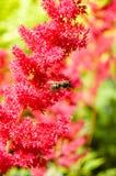 Vespa na flor vermelha do astilbe Fotografia de Stock