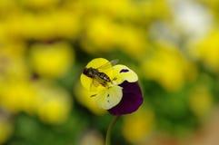 Vespa na violeta Imagem de Stock Royalty Free