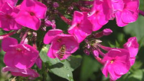 Vespa que senta-se em um flox cor-de-rosa video estoque