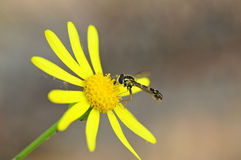 Vespa su un fiore giallo Fotografie Stock