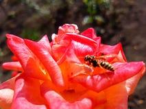 vespa sulla rosa Fotografia Stock