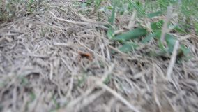 Vespa tropica Wasps or hornets kill spider for eat. And pull down in nest at underground at outdoor stock video