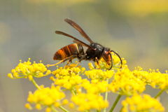 Vespa velutina. Nigrithorax, the Asian hornet, originates from Southeast Asia and is an invader wasp that has appeared in Europe in France, Spain and Portugal Royalty Free Stock Image
